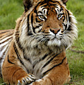 Tigre De Sumatra Panthera Tigris by Gerard Lacz