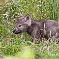 Timber Wolf Pup by Wolves Only