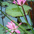 Pink Water Lily Pond by Irina Davis