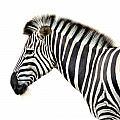 Zebra by Heike Hultsch