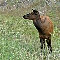 812p Elk by NightVisions