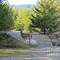 842p White-tailed Deer by NightVisions