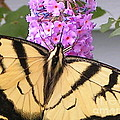 #859 D480 Swallowtail 2010.jpg by Robin Lee Mccarthy Photography
