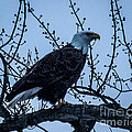 Bald Eagle by Ronald Grogan