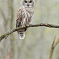 Barred Owl by Scott Linstead