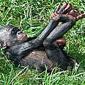 Bonobo Baby by Millard H Sharp