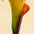 Calla Lily by Paulo Goncalves