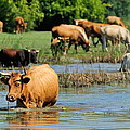 Cow by Grisha Grigorov