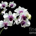 Dendrobium Orchid by Antoni Halim