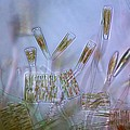 Diatoms, Light Micrograph by Science Photo Library