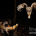 Eastern Screech Owl by Scott Linstead