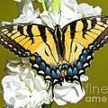 Eastern Tiger Swallowtail Butterfly by Millard H. Sharp