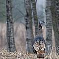 Eastern Wild Turkey by Linda Freshwaters Arndt