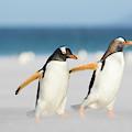 Gentoo Penguin (pygoscelis Papua by Martin Zwick