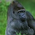 Gorille De Plaine Gorilla Gorilla by Gerard Lacz
