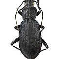 Ground Beetle by Science Photo Library