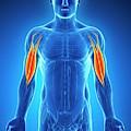 Human Arm Muscles by Sebastian Kaulitzki