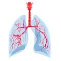 Human Lungs by Sebastian Kaulitzki