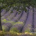 Lavender Field, France by John Shaw