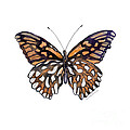 9 Mexican Silver Spot Butterfly by Amy Kirkpatrick