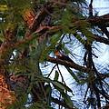 Pileated Woodpecker by Robert Floyd
