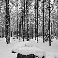 Pine Forest Winter by Jouko Lehto