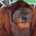 Portrait Of A Large Male Orangutan by Paul Fell