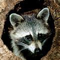 Raccoon by Millard H Sharp