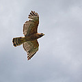 Red Shouldered Hawk In Flight by Jai Johnson