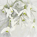 Snowdrops by Heike Hultsch