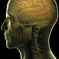 The Human Brain by Science Picture Co