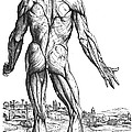 Vesalius: Muscles, 1543 by Granger