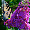 Yellow Tiger Swallowtail Papilio Glaucus Butterfly  by Mark Dodd