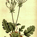 Botanical Print By Sydenham Teast Edwards 1768 – 1819 by Quint Lox