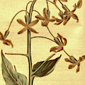 Botanical Print By Sydenham Teast Edwards 1768 – 1819 by Quint Lox