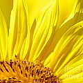 #923 D718 You Are My Sunshine. Sunflower On Colby Farm by Robin Lee Mccarthy Photography