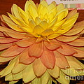 #928 D801 Dahlia Orange Yellow Pink Green by Robin Lee Mccarthy Photography