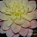 #928 D809 Dahlia Pink White Yellow Dahlia Thoughts Of You by Robin Lee Mccarthy Photography