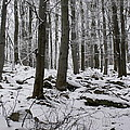 Forest In Winter by Pavel Jankasek