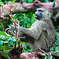 A Baboon In African Bush by Michal Bednarek