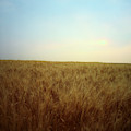 A Barley Crop Sways In The Wind by Todd Korol