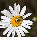 A Beattle On A Daisy by Jeff Swan