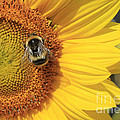 A Bee Gathering Pollen On A Sun Flower by Peter McHallam