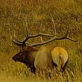 A Big Bull Elk by Jeff Swan