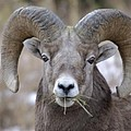 A Big Ram Caught With His Mouth Full by Jeff Swan