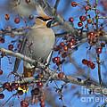 A Bird For Its Crest.. by Nina Stavlund