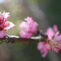 A Bough Of Blurred Peach Blossom by Taiche Acrylic Art