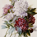 A Bouquet Of Red Pink And White Peonies by Pierre Joseph Redoute
