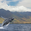 A Breaching Humpback Whale  Megaptera by Dave Fleetham