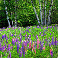 A Breathless Moment Among Lupine by Wayne King